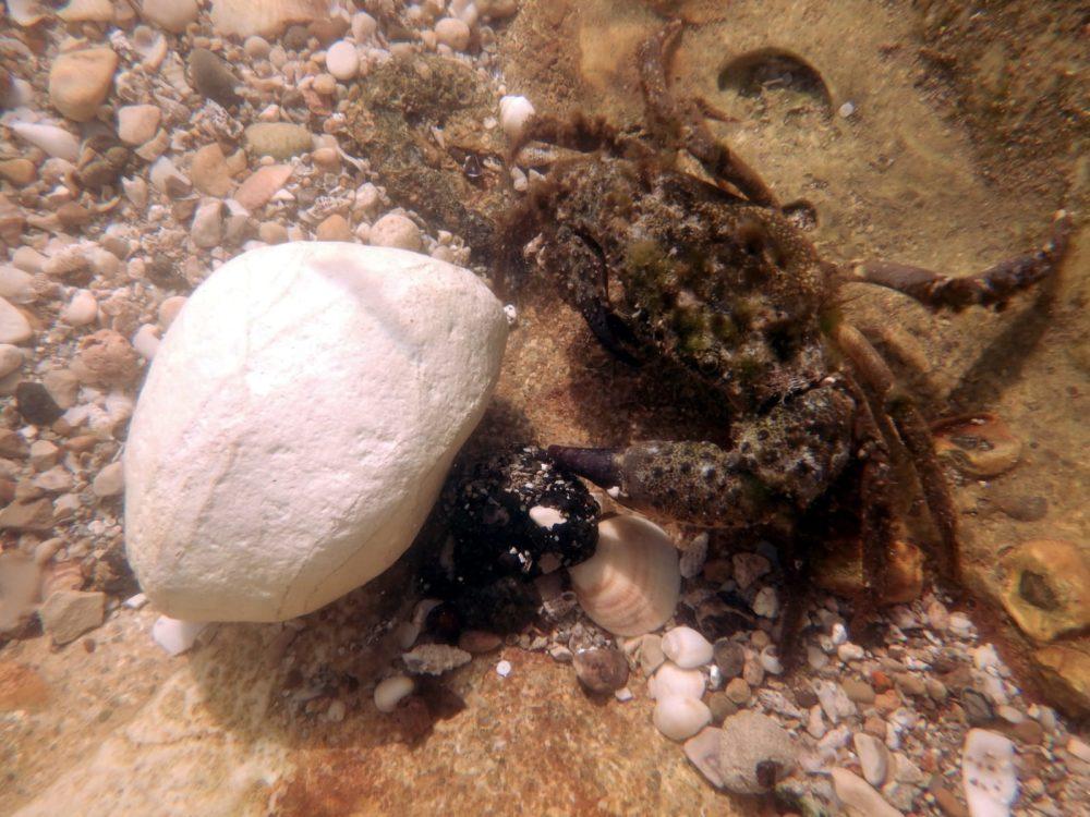 סרטן פגוע - חוף שקמונה | אסון הזפת (צילום תת ימי: מוטי מנדלסון)