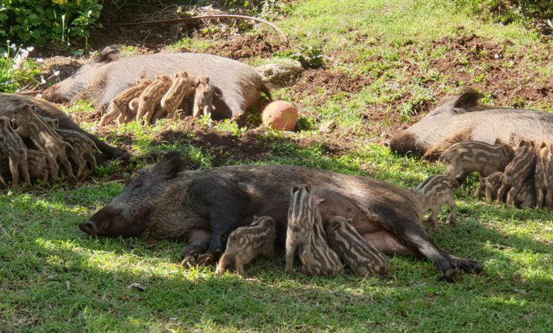 חזירות מיניקות בשמש (צילום: גילי שגב)