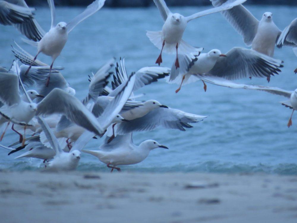 להקת שחפים בחוף שמן (צילום: ענת לקריף)