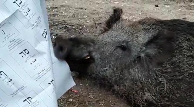 חזיר תולש את שלט הבחירות בקלפי בחיפה (צילום: אורית כרמי)