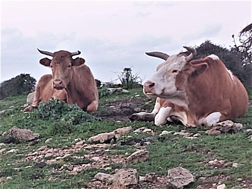 פרות בעתלית (צילום: אורן טל)