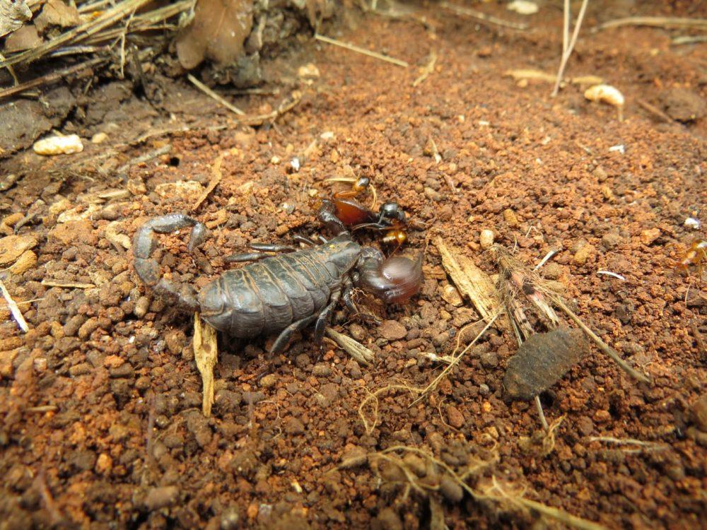 עקרב נבו יריחו (צילום: מוטי מנדלסון)