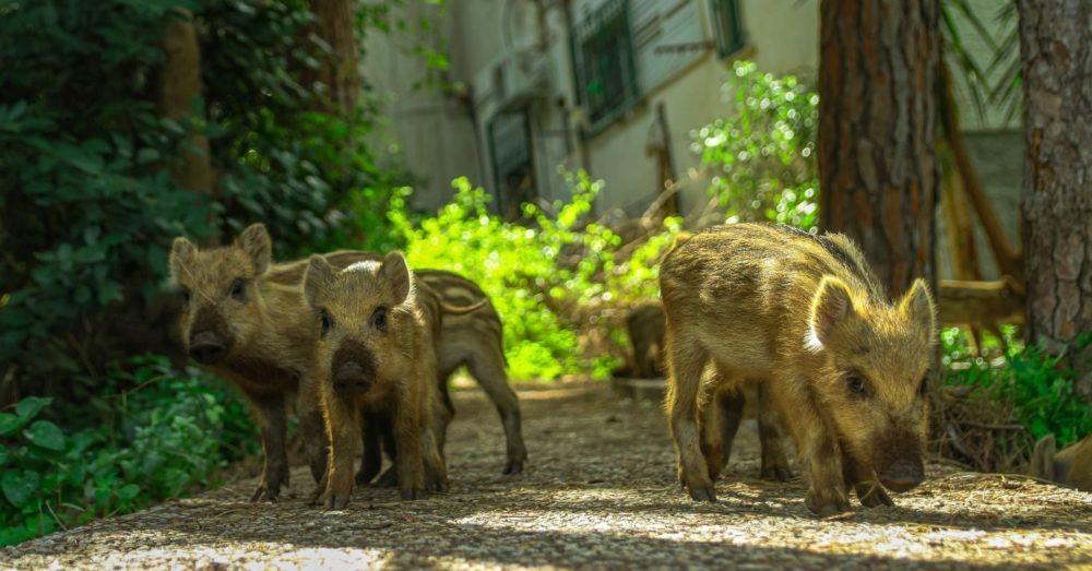 חזירי חיפה - הדור הבא (צילום: עומר מוזר)