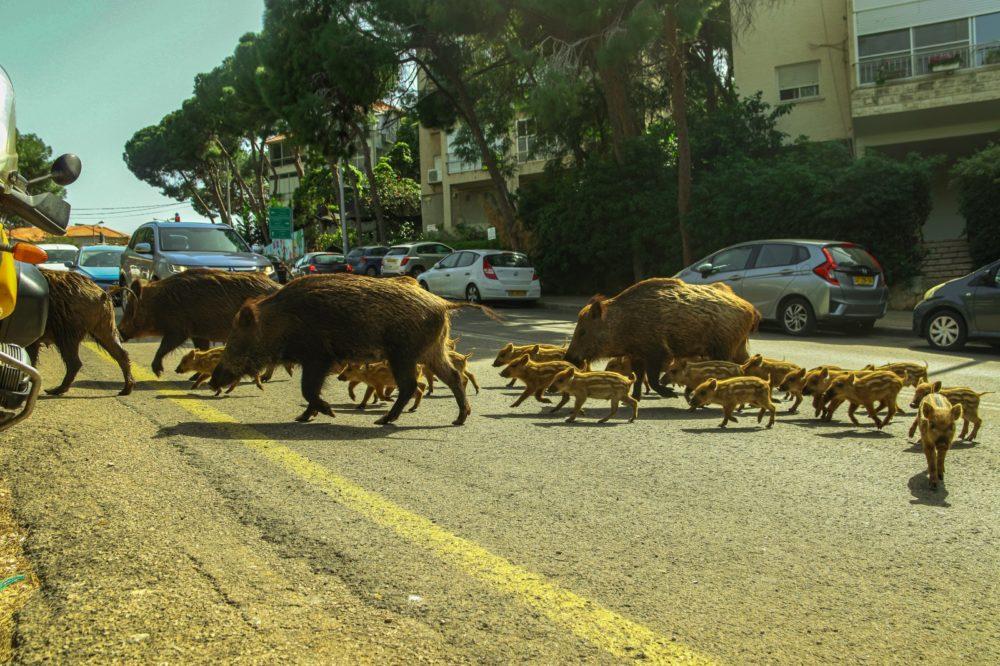 משפחות החזירים מציפות את חיפה (צילום: עומר מוזר)