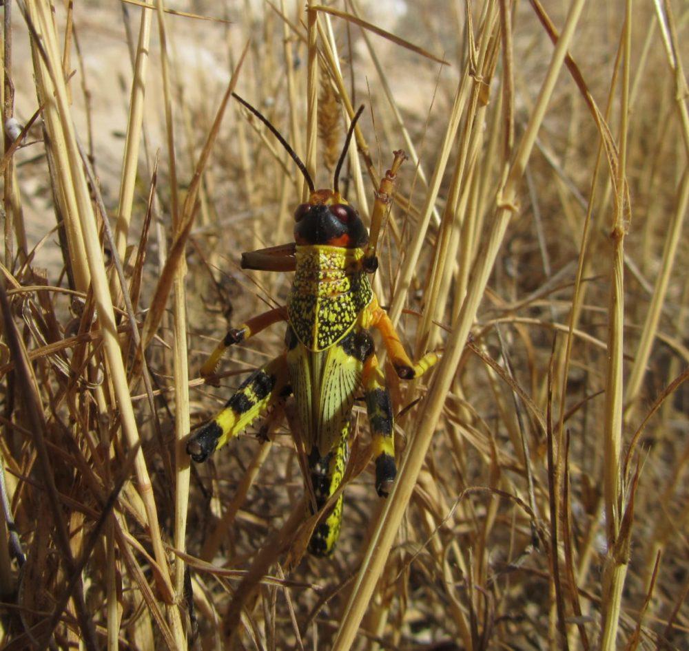 ארבה צהוב צעיר עם כנפיים זעירות שטרם התפתחו (צילום: מוטי מנדלסון)