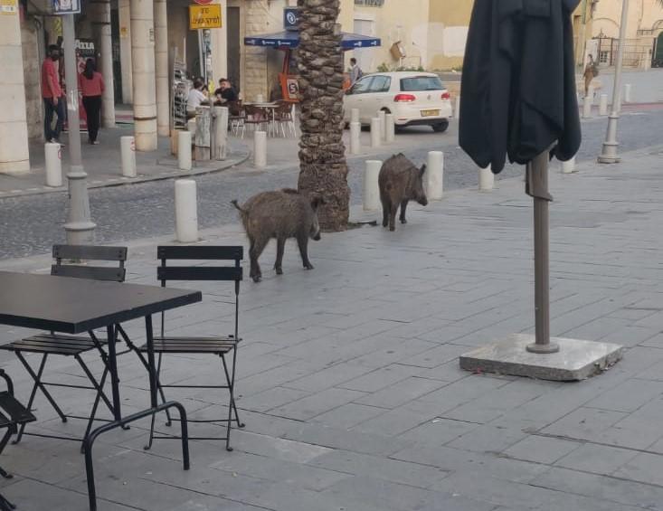 מחפשים איזה בית קפה נחמד | חזירים בעיר התחתית (צילום: רמזי אבו טארוס)