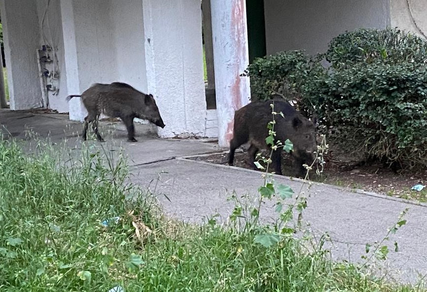 בין הבניינים | חזירים בעיר התחתית (צילום: רמזי אבו טארוס)