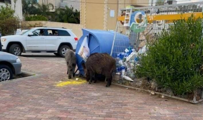 מצאו מקום טוב לאכול | חזירים בעיר התחתית (צילום: רמזי אבו טארוס)