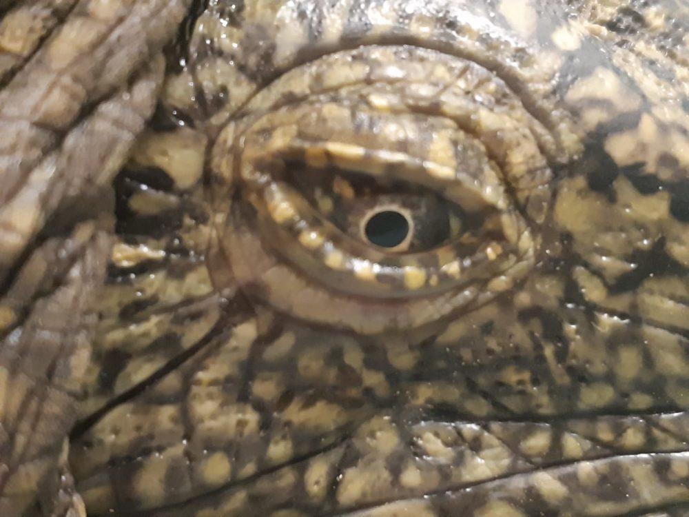 """העין של הצב אכרם (צילום: ד""""ר יניב לוי, ד""""ר צחי אייזנברג)"""