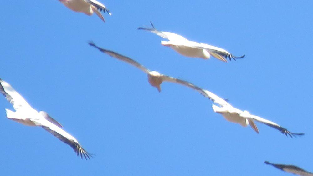 להקת שקנאים ענקית חולפת מעל קריית אתא (צילום: רותם הירשפלד)