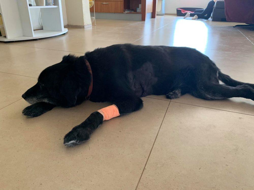 הכלבה בילי נפצעה בהתקפת חזיר בר בישוב נופית (צילום: קרן פרידמן-ברכה)