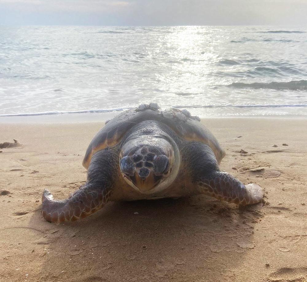 צב ים מת בחוף הפתוח מדרום לחיפה (צילום: חי פה)