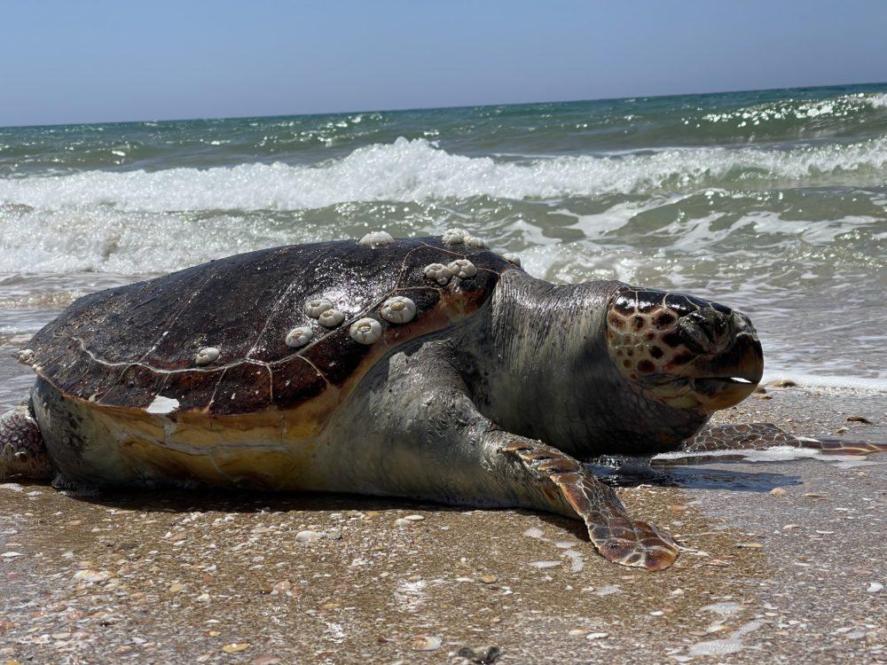 צב ים מת בחוף הפתוח מדרום לחיפה (צילום: ירון כרמי)