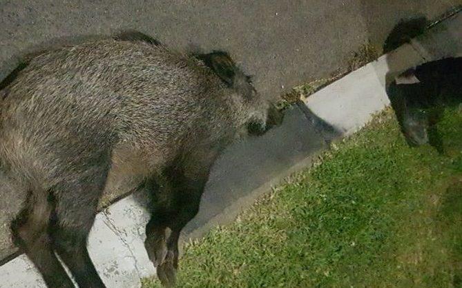 גופת החזיר לאחר התאונה (צילום: שחף פייביש)