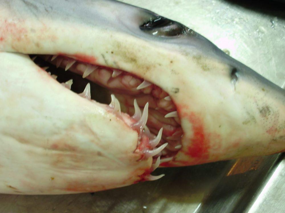 כריש מאקו - עמלץ כחול (צילום: מוטי מנדלסון)
