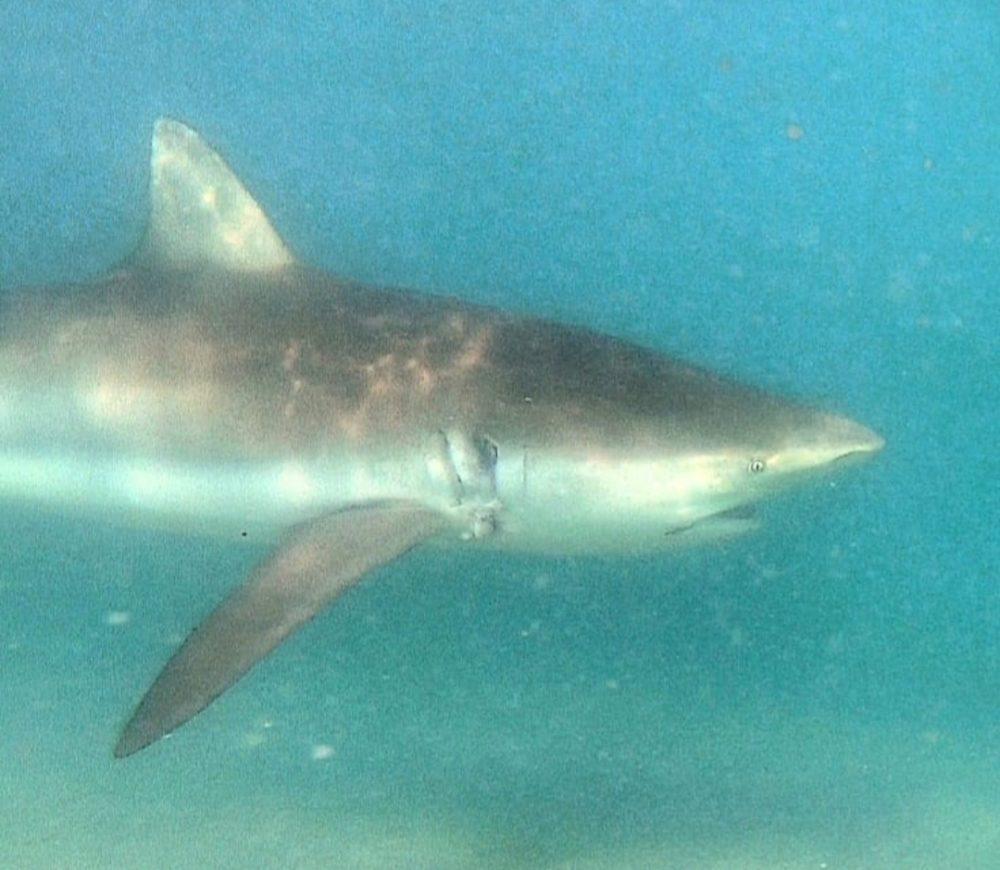 כרישים בחדרה (צילום תת ימי: עמיאל איתי)