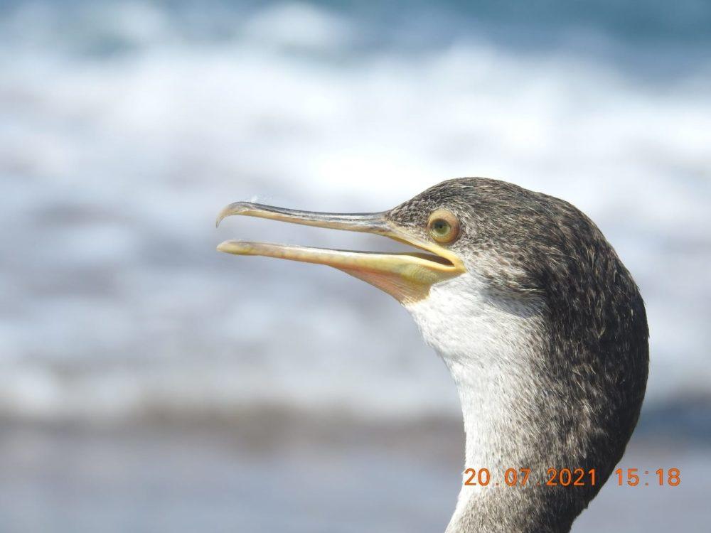 קורמורן ימי נדיר נצפה בחוף דור (צילום: שי קבסה רשות הטבע והגנים)