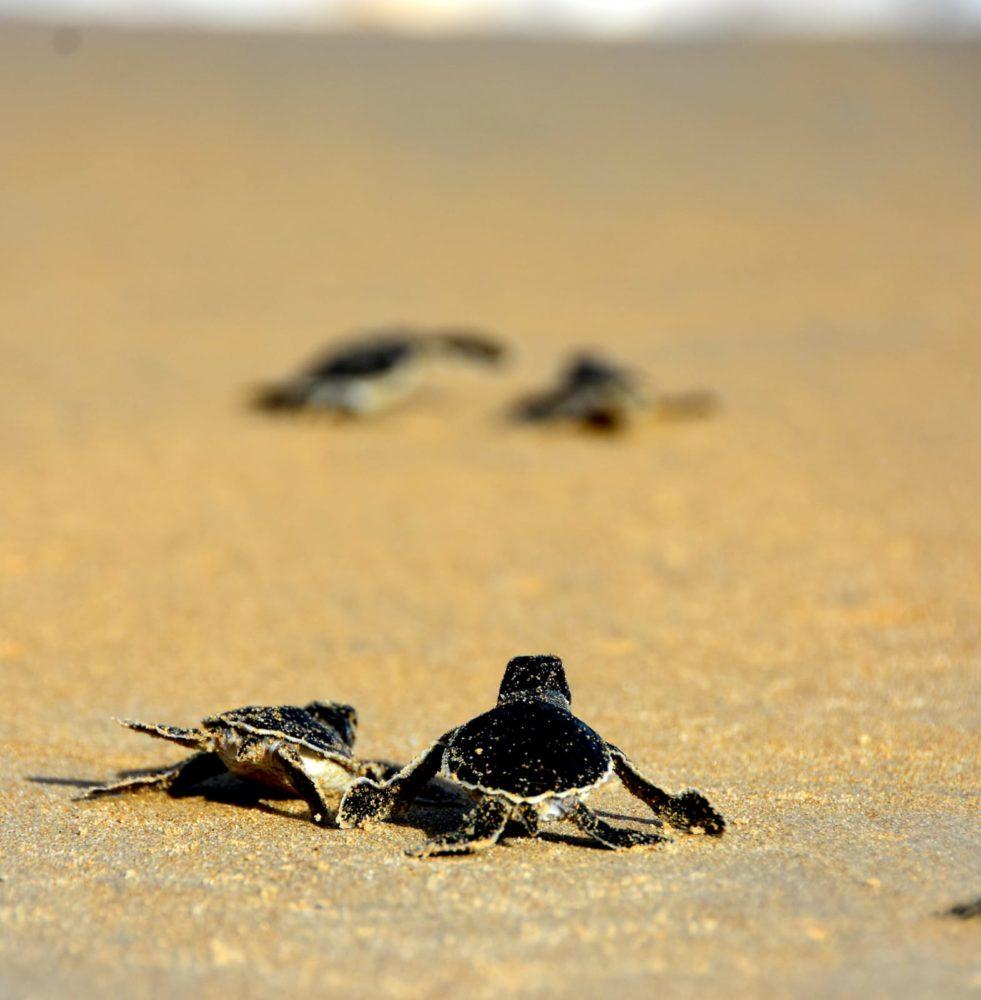 צבי ים משוחררים לחוף (צילום: שי קבסה רשות הטבע והגנים)