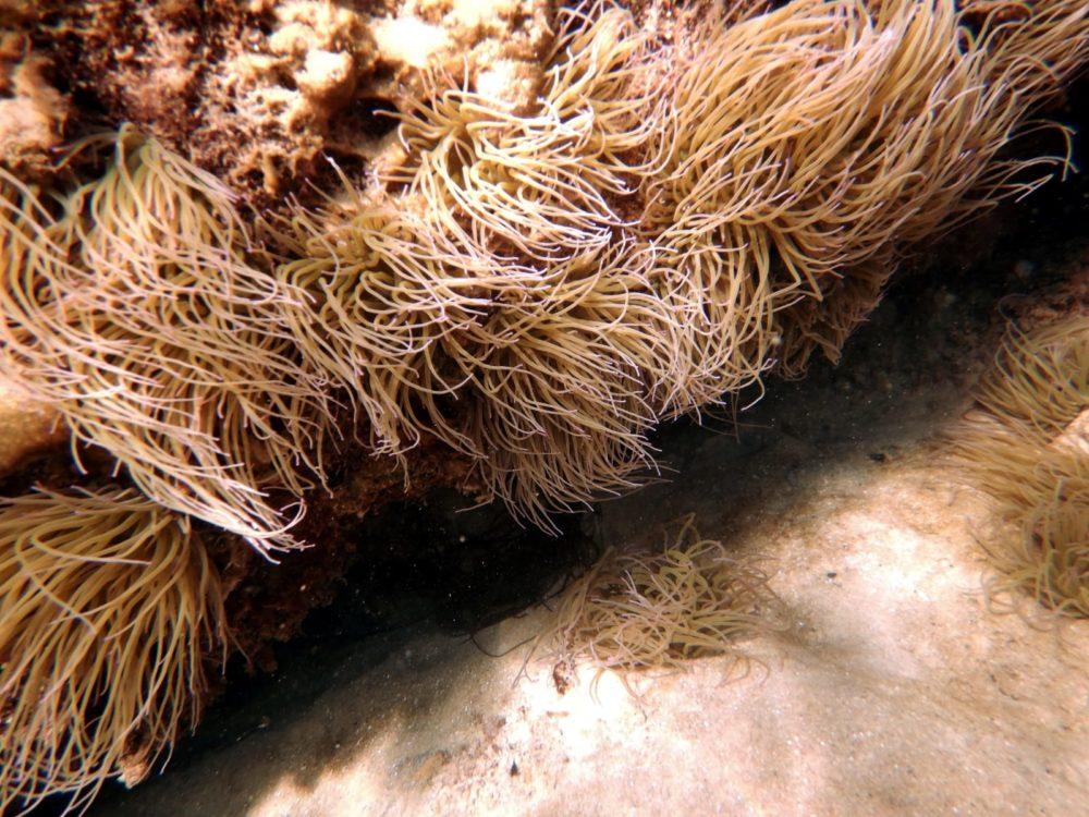 מרבד שושנת הים הדונגית (צילום: מוטי מנדלסון)
