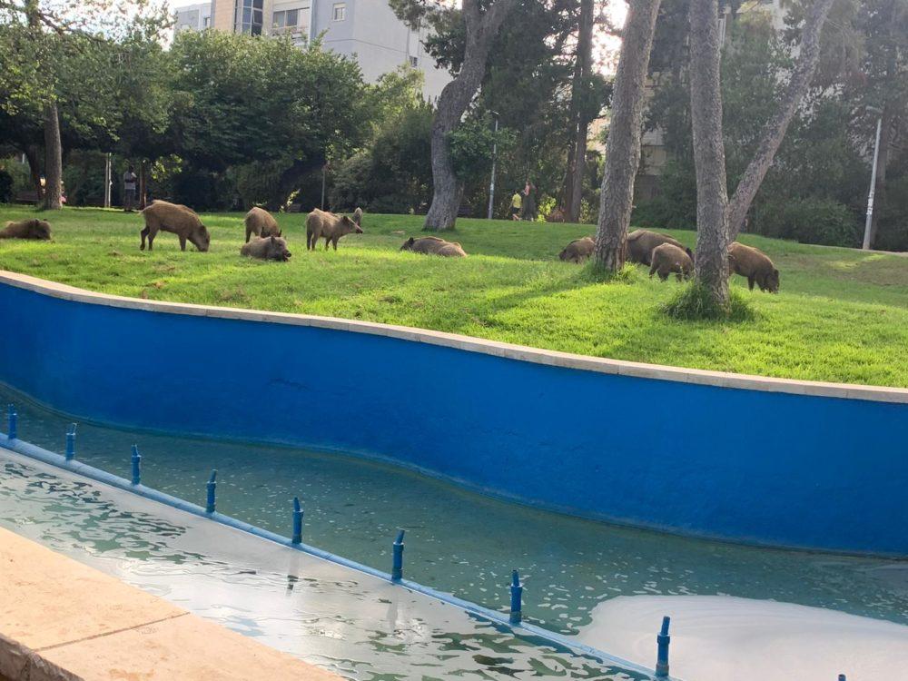 חזירים בגן מניה שוחט במרכז הכרמל בחיפה 14/7/21 (צילום: תומר בן שימול)