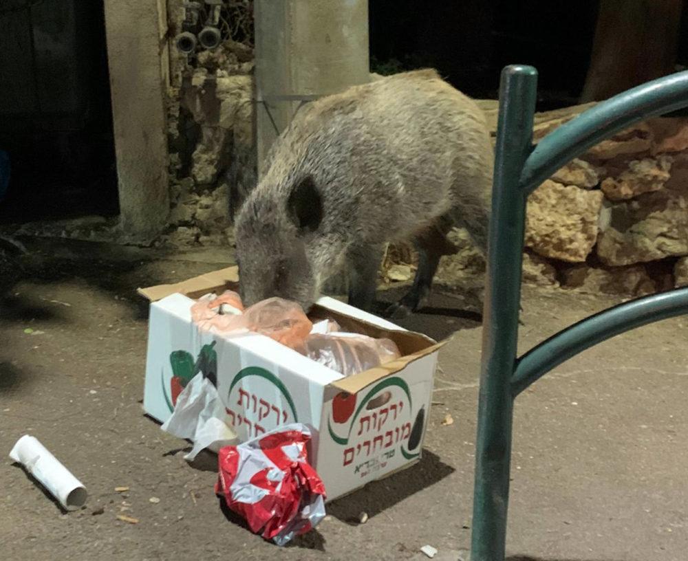 חזיר בר בשכונת כבביר בחיפה (צילום: שי כרמי)